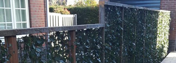 Färdig murgrönehäck med espalier (180x120x20 cm)