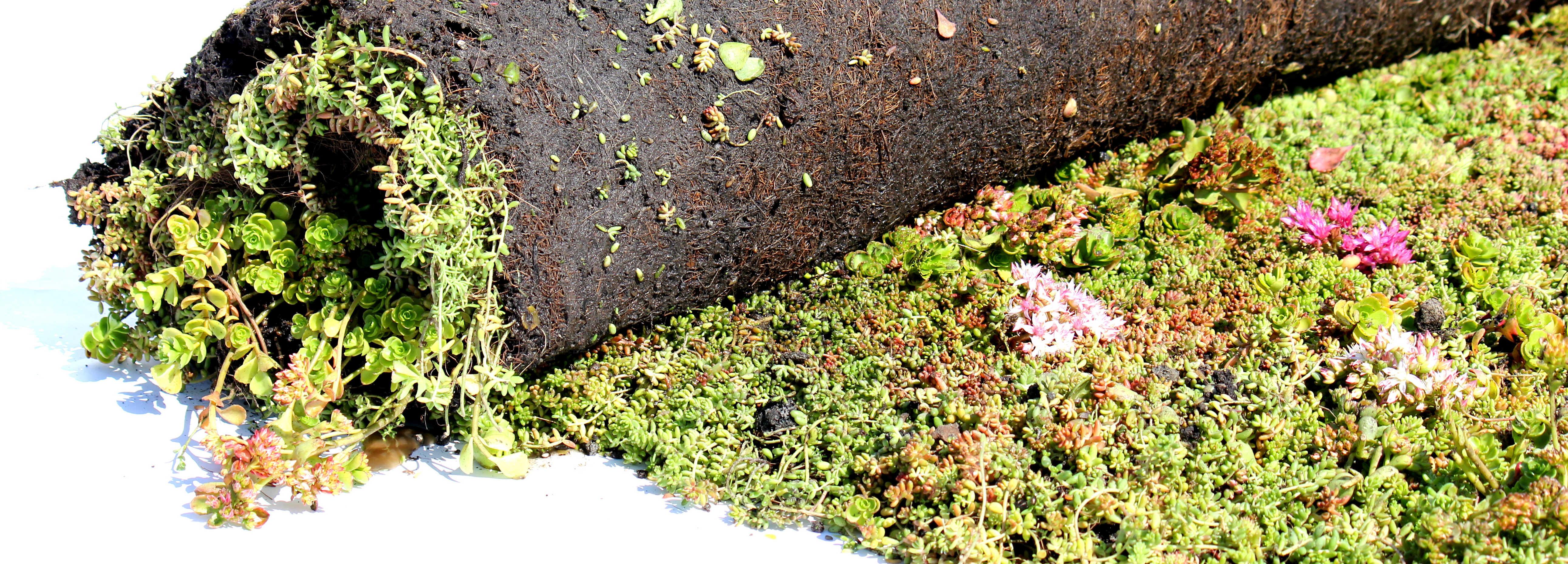 Vegetationsmattor med Sedum