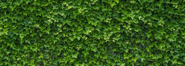 Murgröna (hedera)