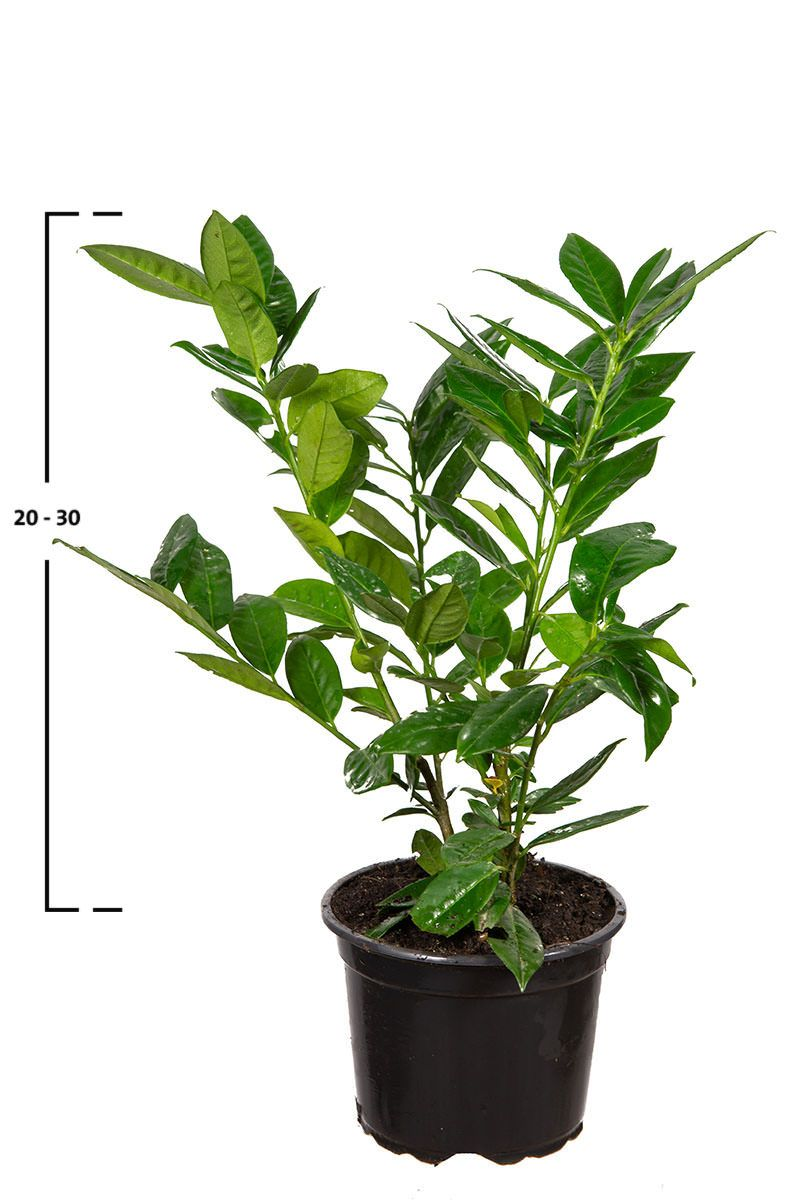 Lagerhägg Green Lustre ®