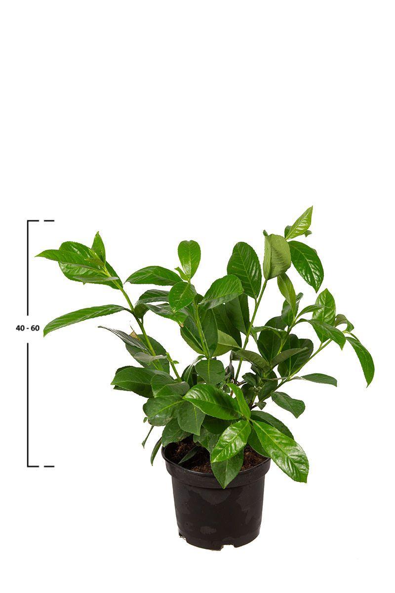 Lagerhägg Rotundifolia