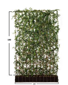 Småbladig murgröna
