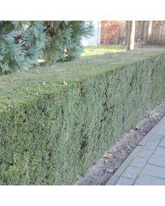 Idegrans buske