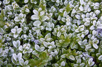 Vintergröna häckväxter