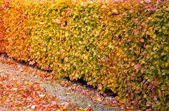 Lövfällande häckväxter